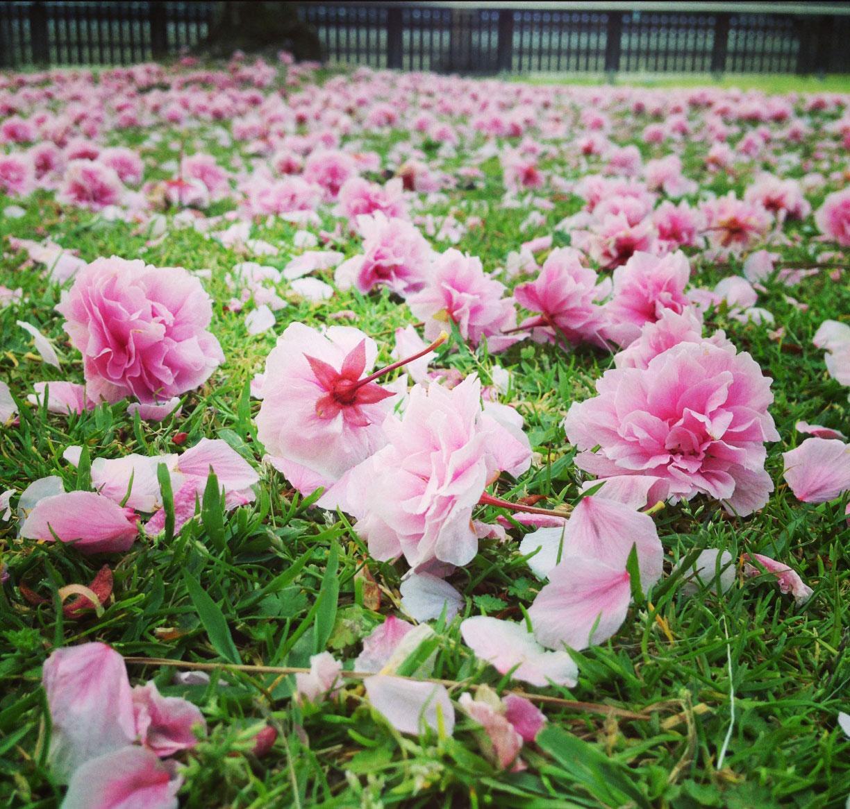 南円堂前の八重桜落花