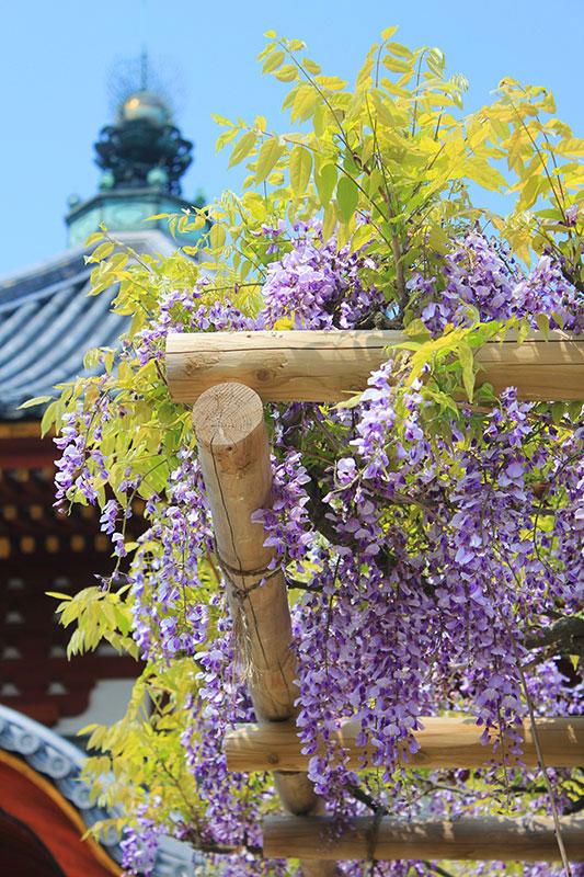 南円堂前の藤の花