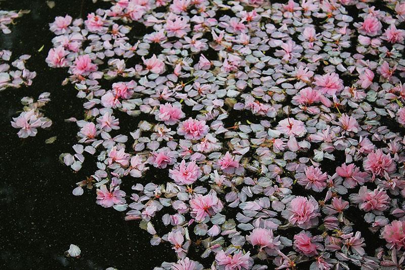 氷室神社の池に浮かんだ八重桜