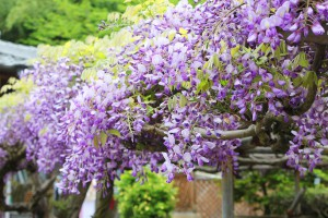 陽徳寺の藤