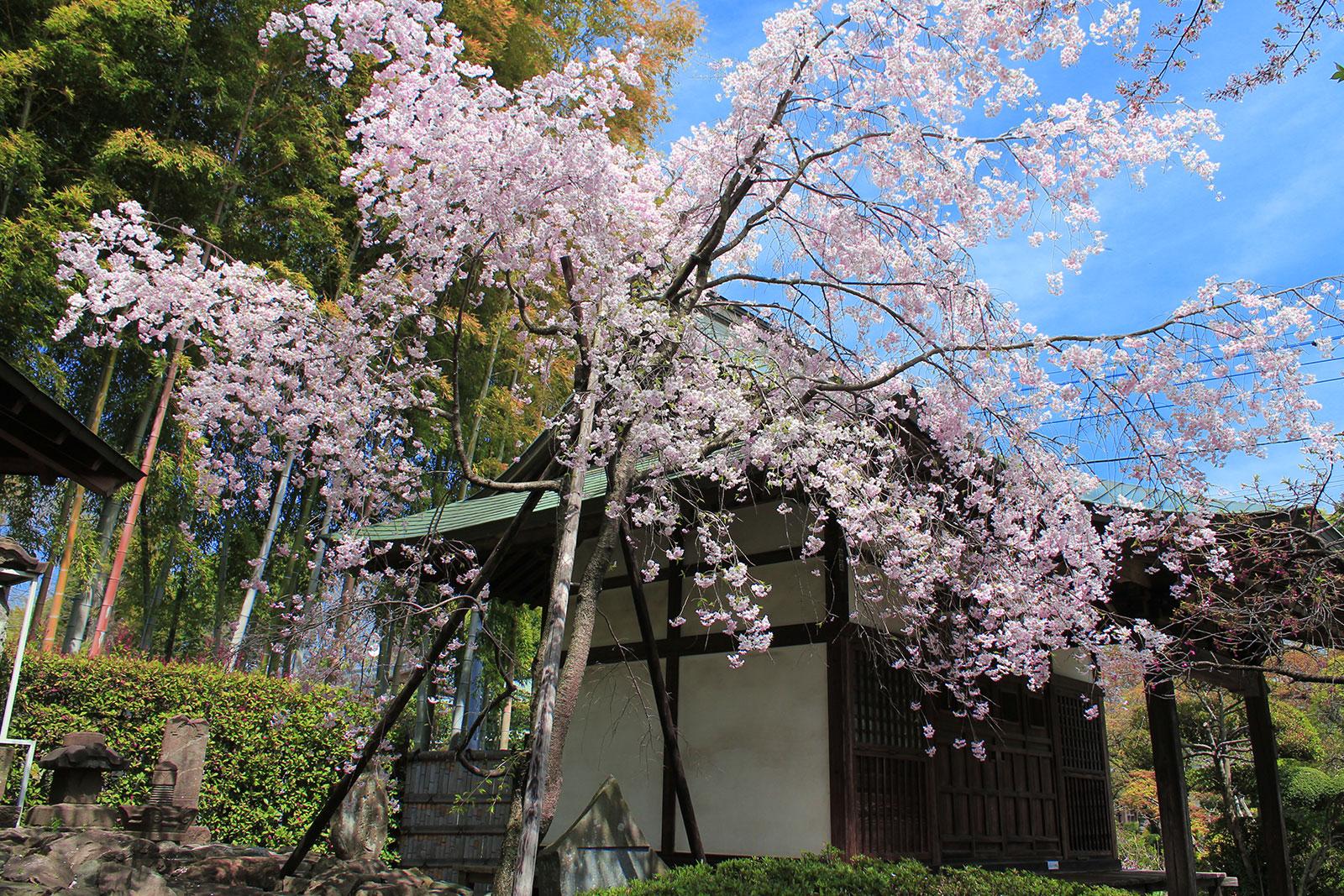 供養塔前の桜