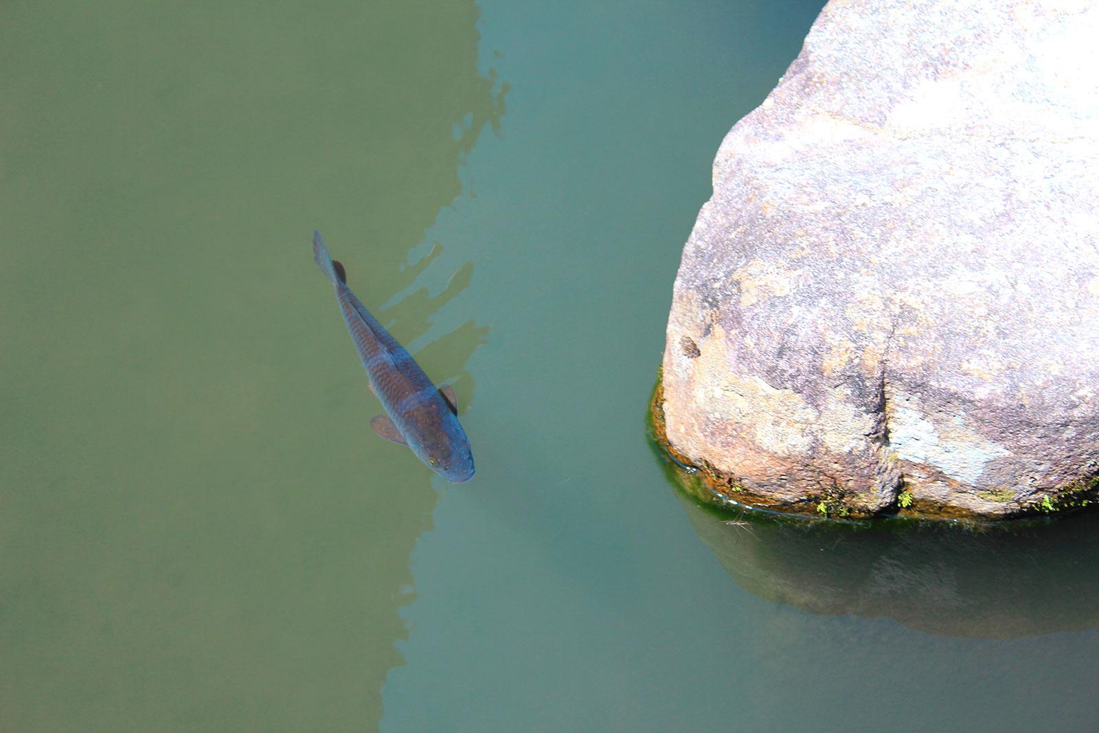 悠然と泳ぐ鯉