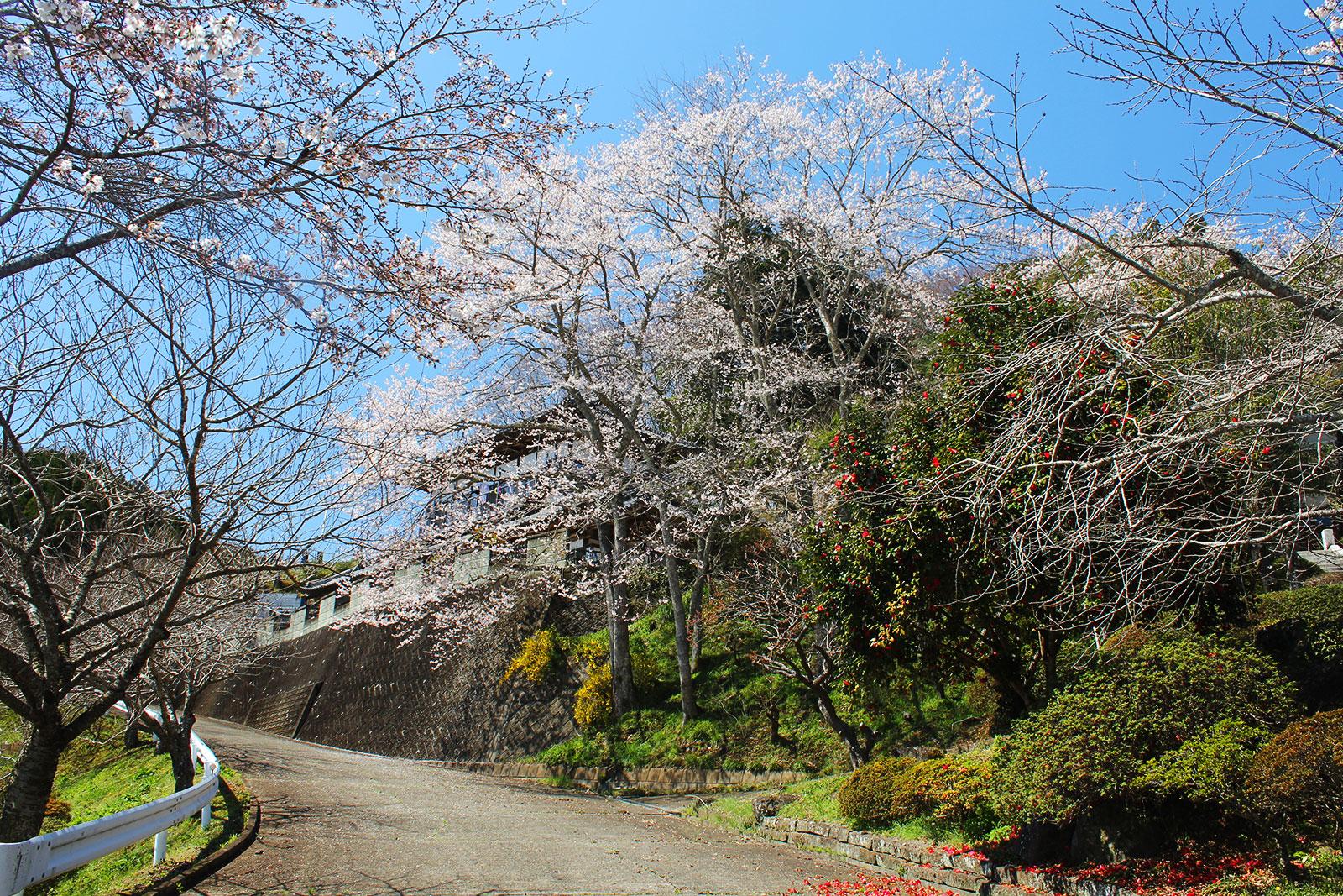 菊蓮寺前の桜