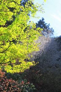 新緑と桜の名残