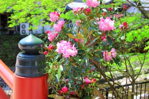 太鼓橋のたもとに咲くシャクナゲ