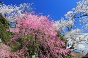 仁王門周辺の桜