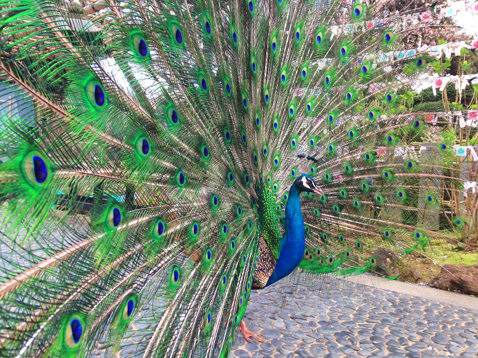 羽を広げる孔雀