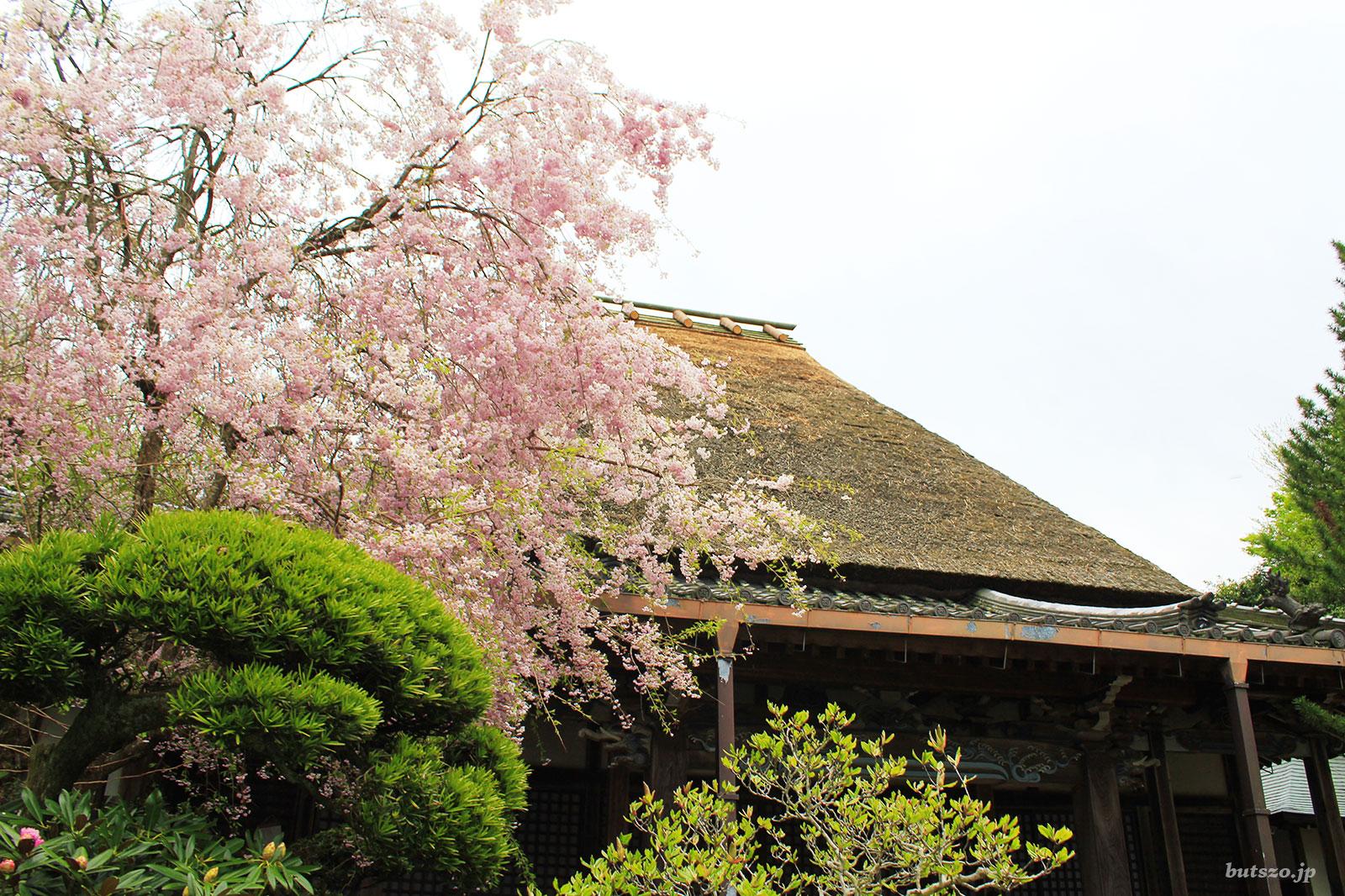 西念寺本堂の桜