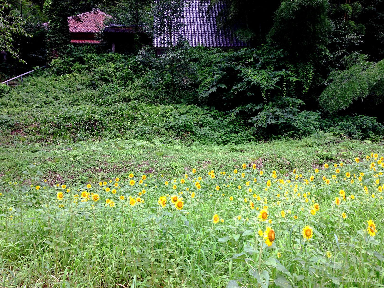 お寺前のひまわり畑
