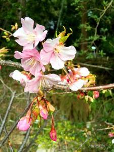 お寺前の河津桜