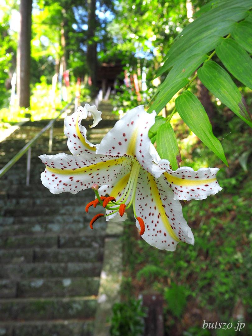 石段の前に咲くヤマユリ