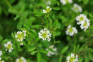 境内の野に咲く花