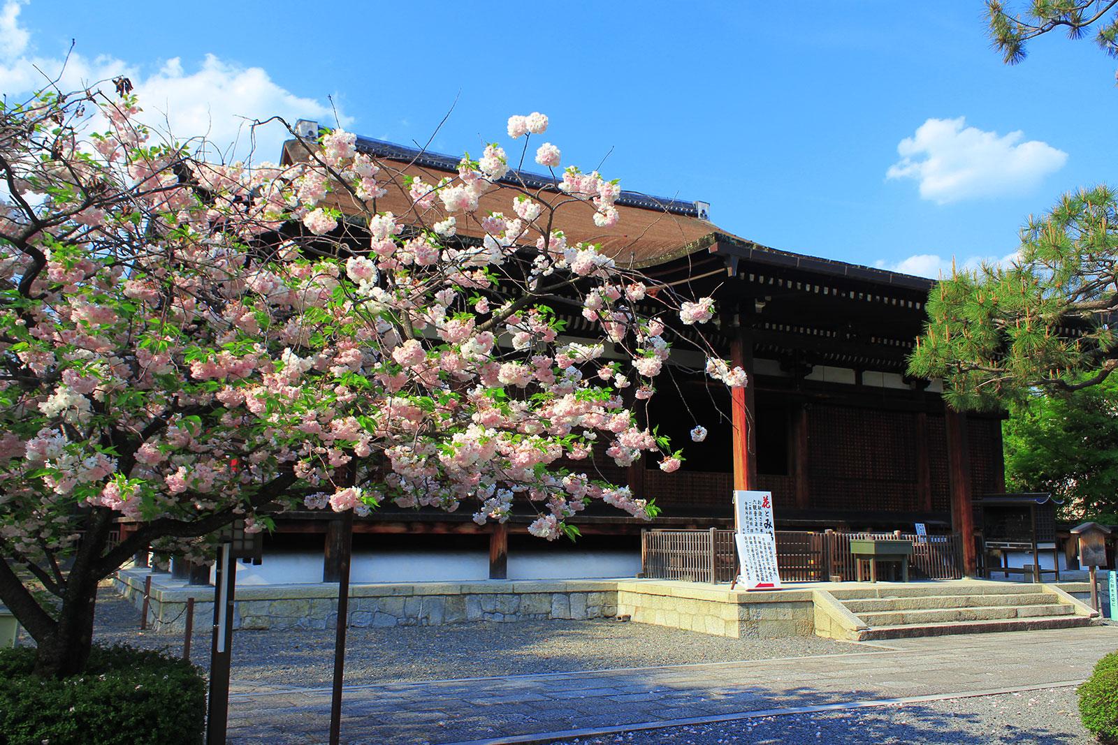本堂前の八重桜