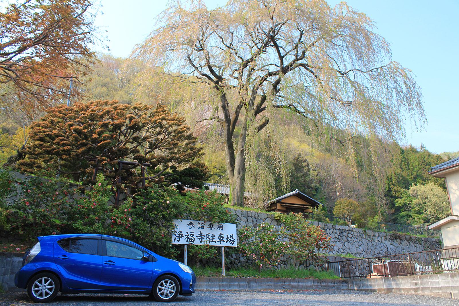 駐車場上のしだれ桜の木