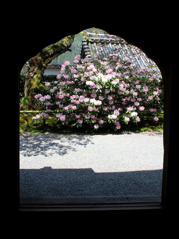 花頭窓の向こうにシャクナゲ