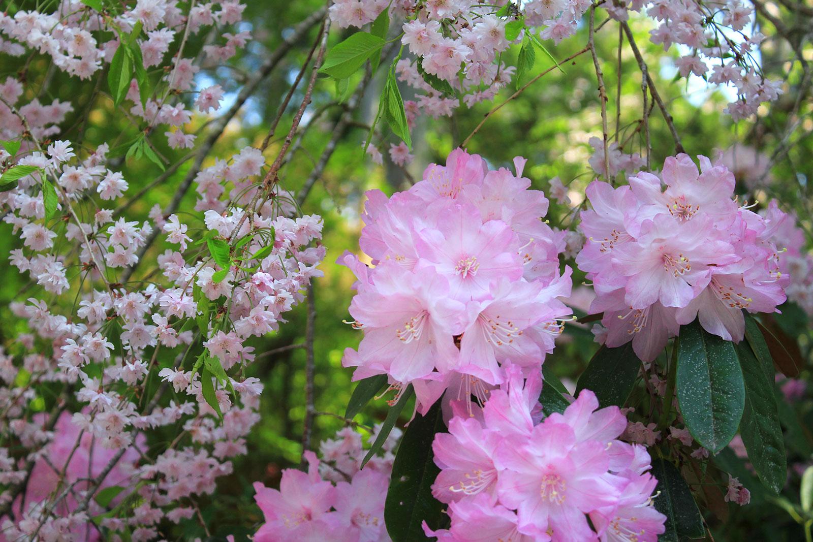 枝垂れ桜とシャクナゲ
